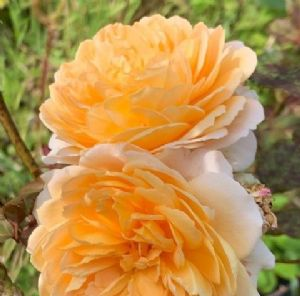 Rosa 'Crown Princess Margareta'  7.5L  Clg.